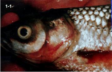 草鱼常见疾病及防治