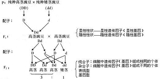 江苏省江阴市成化高级中学高中生物教案 必修2 1.图片