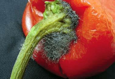 番茄根霉果腐病症状与防治方法