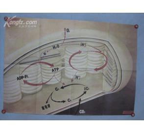 光合作用的过程教案
