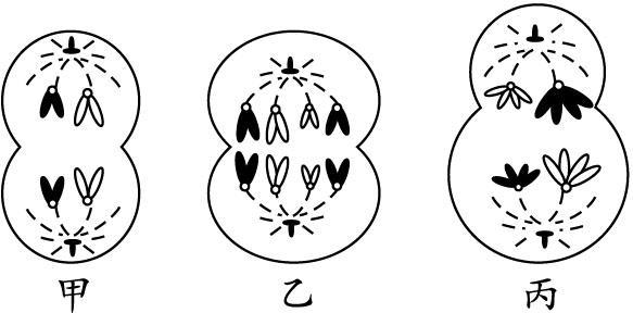 三级甲简笔画_甲,乙,丙三个细胞均含有同源染色体