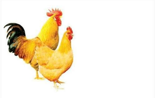 黄色片色鸡鸡_花,白等毛色,目前育种场在培育的目标上,主要的力量是放在黄色鸡种的