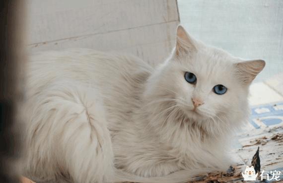 上帝的败笔:蓝眼白猫大多数会耳聋图片