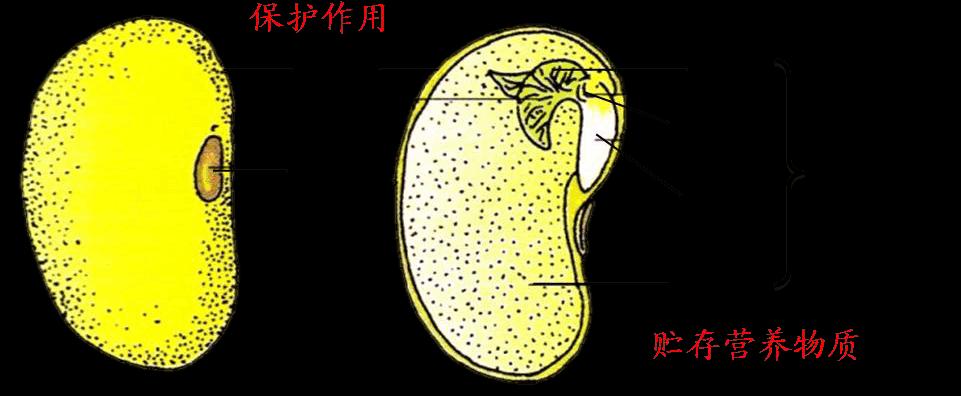 双子叶植物种子的结构图片