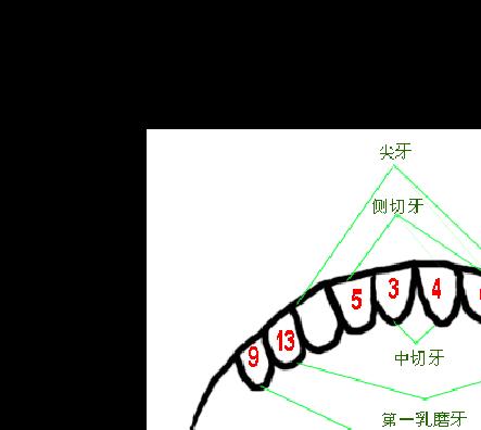 儿童出牙及换牙顺序图