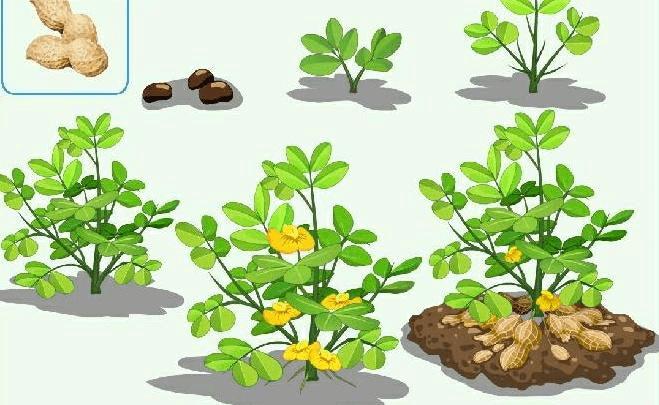 所有分类 农林牧渔 农学 花生的生长过程  花生是一年生草本植物,从插图片