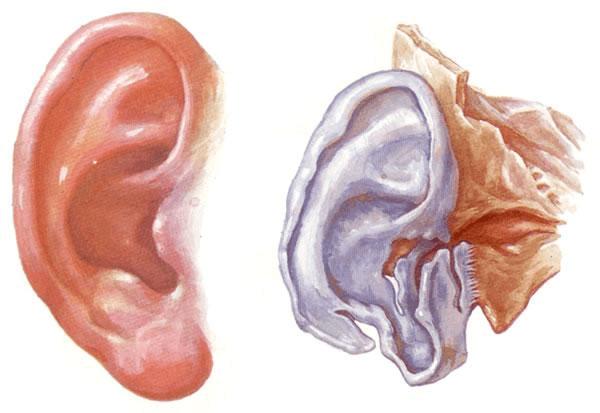 第十五章 前庭蜗器 Vestibulocochlear Organ