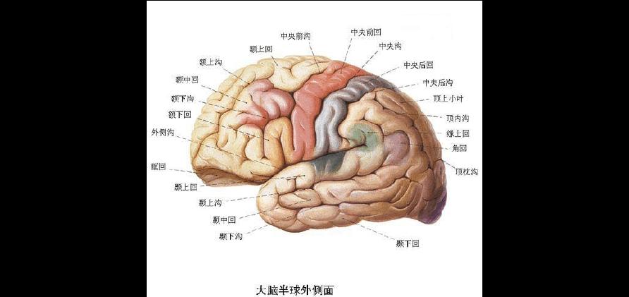 大脑结构_大脑结构与功能分区