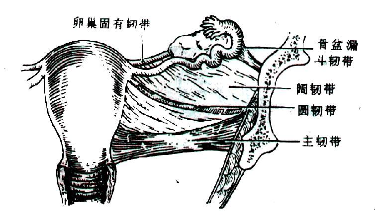 ��_圆(维持子宫前倾),阔,主(固定子宫颈位 置,防止子宫下垂),宫骶(间接