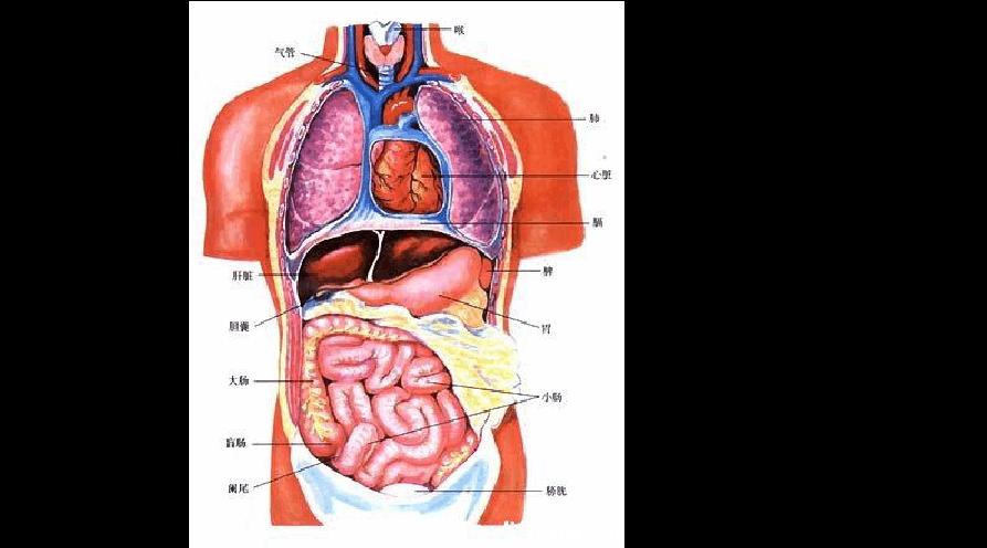 人体内脏囹�a�b!���9f�z_人体内脏分布图