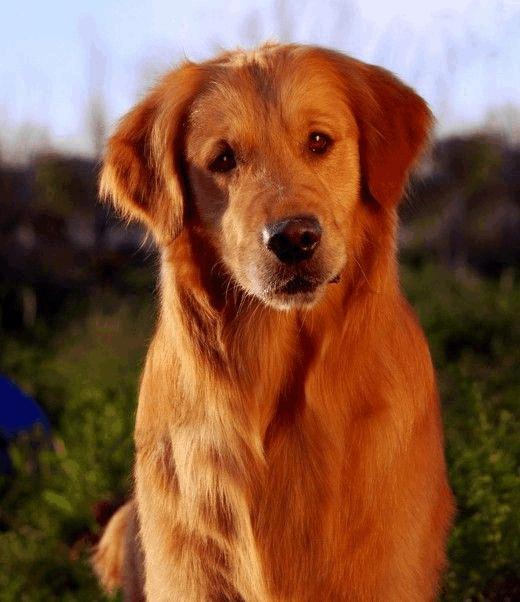 常见近百种狗狗的分类及图片