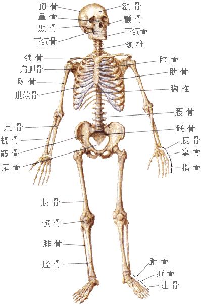 人体最肥的器官