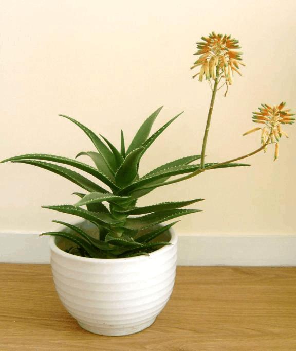 房屋装修_适合家养的植物