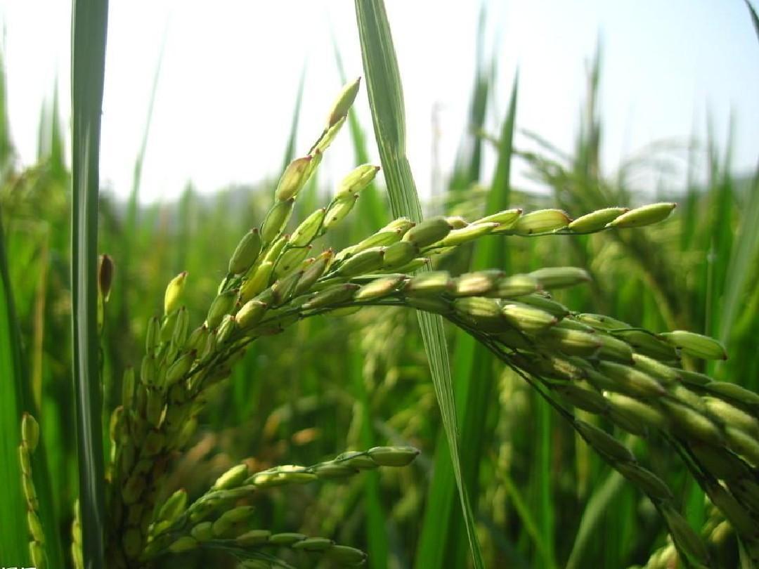 水稻在生长过程中,为防止后期出现倒伏,应多施( )a.氮肥b.钾肥c.图片
