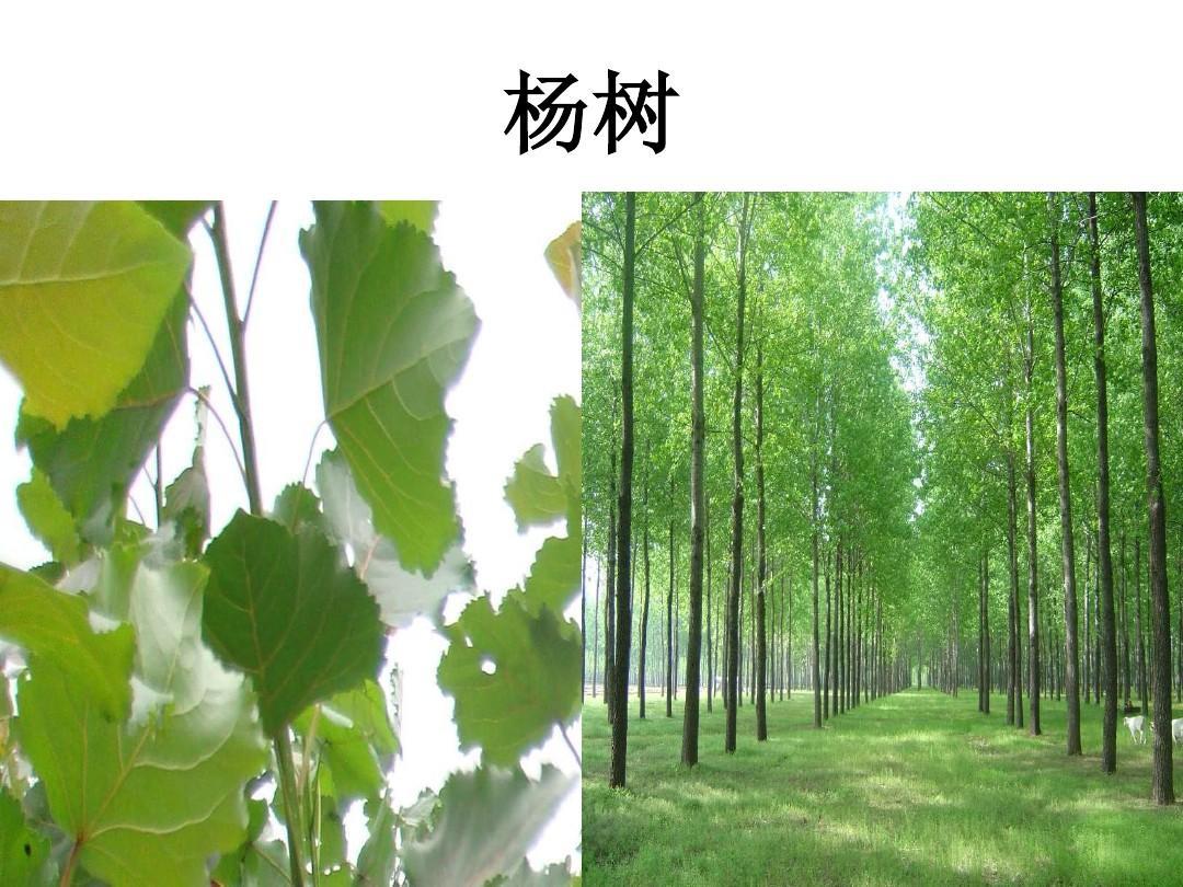 各种树叶图片及名称ppt图片