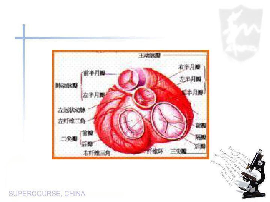 内科心脏瓣膜病(课件)ppt
