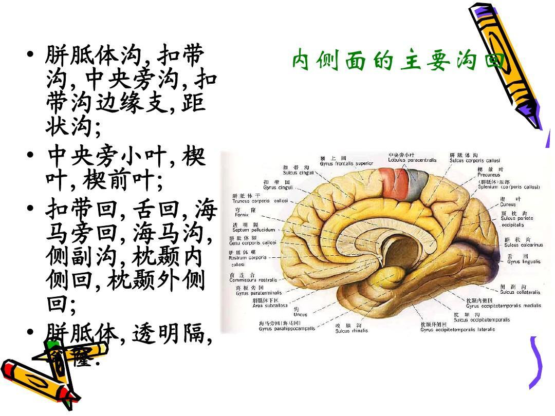 大脑结构_大脑结构ppt