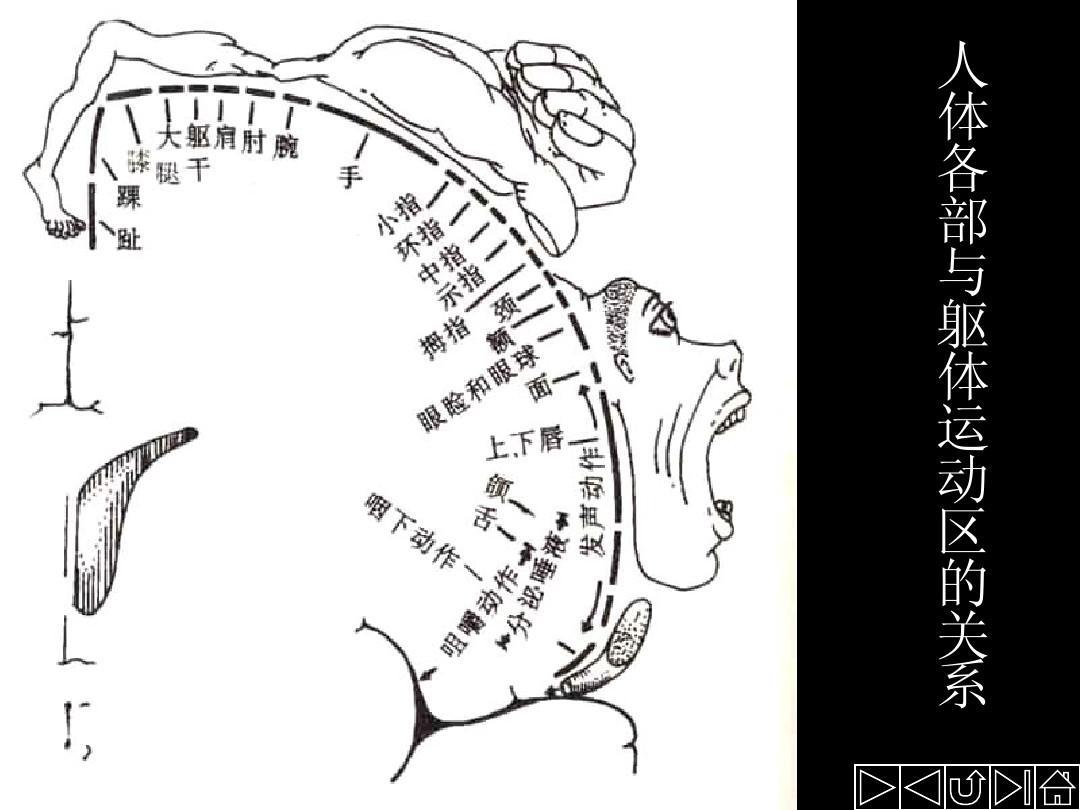 大脑的内部结构PPT