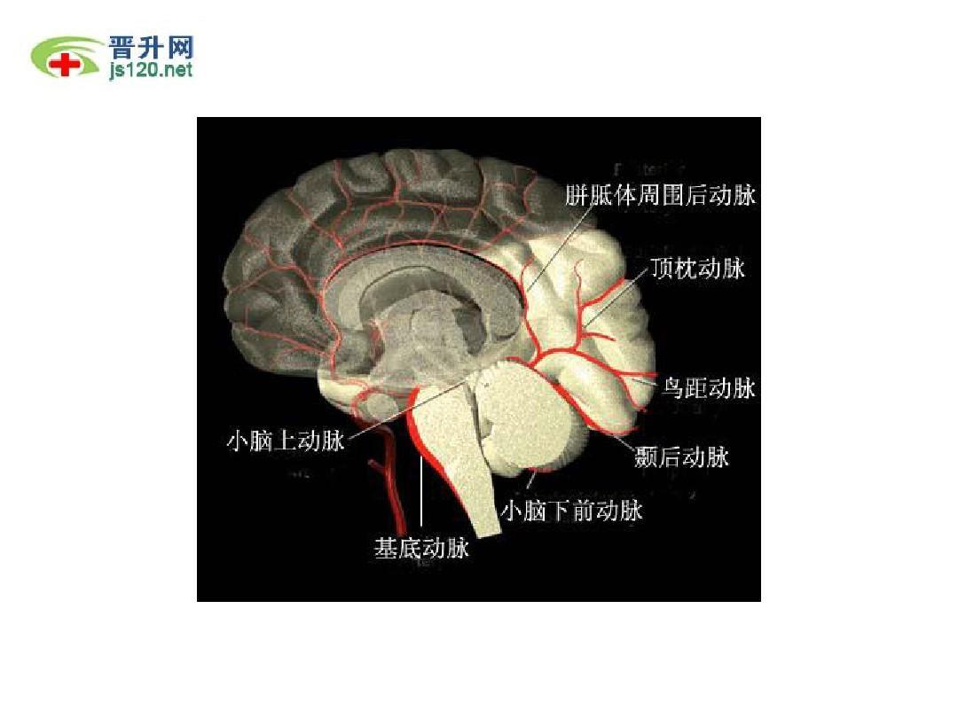 大脑结构_大脑解剖图ppt