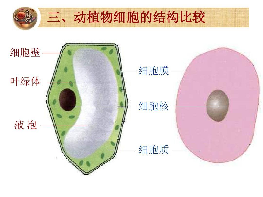 植物细胞制作
