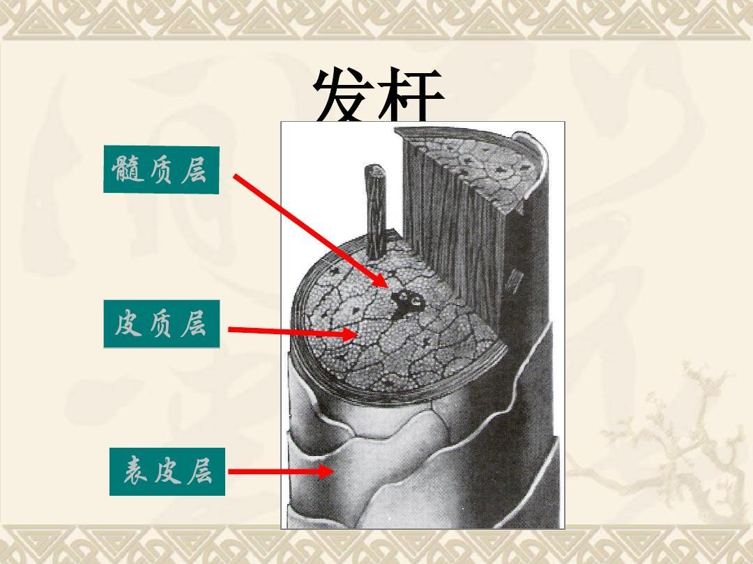 头发头皮生理学ppt图片