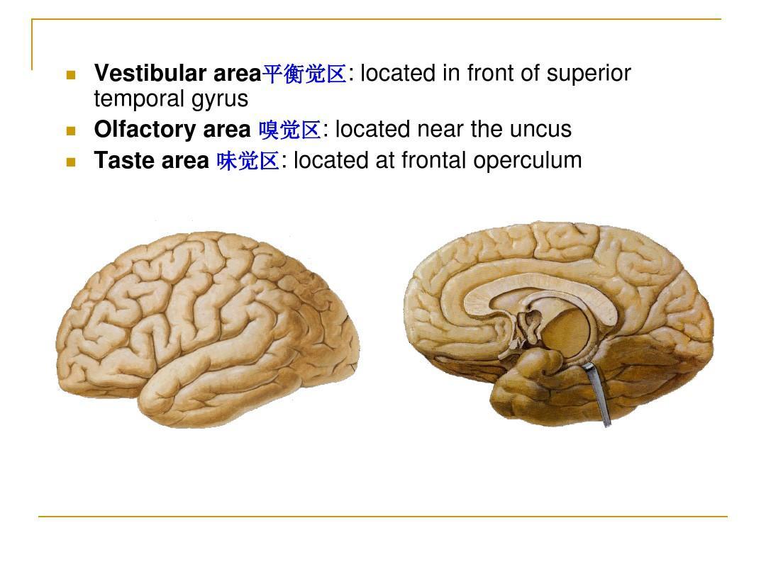 大脑结构_大脑结构解剖图ppt