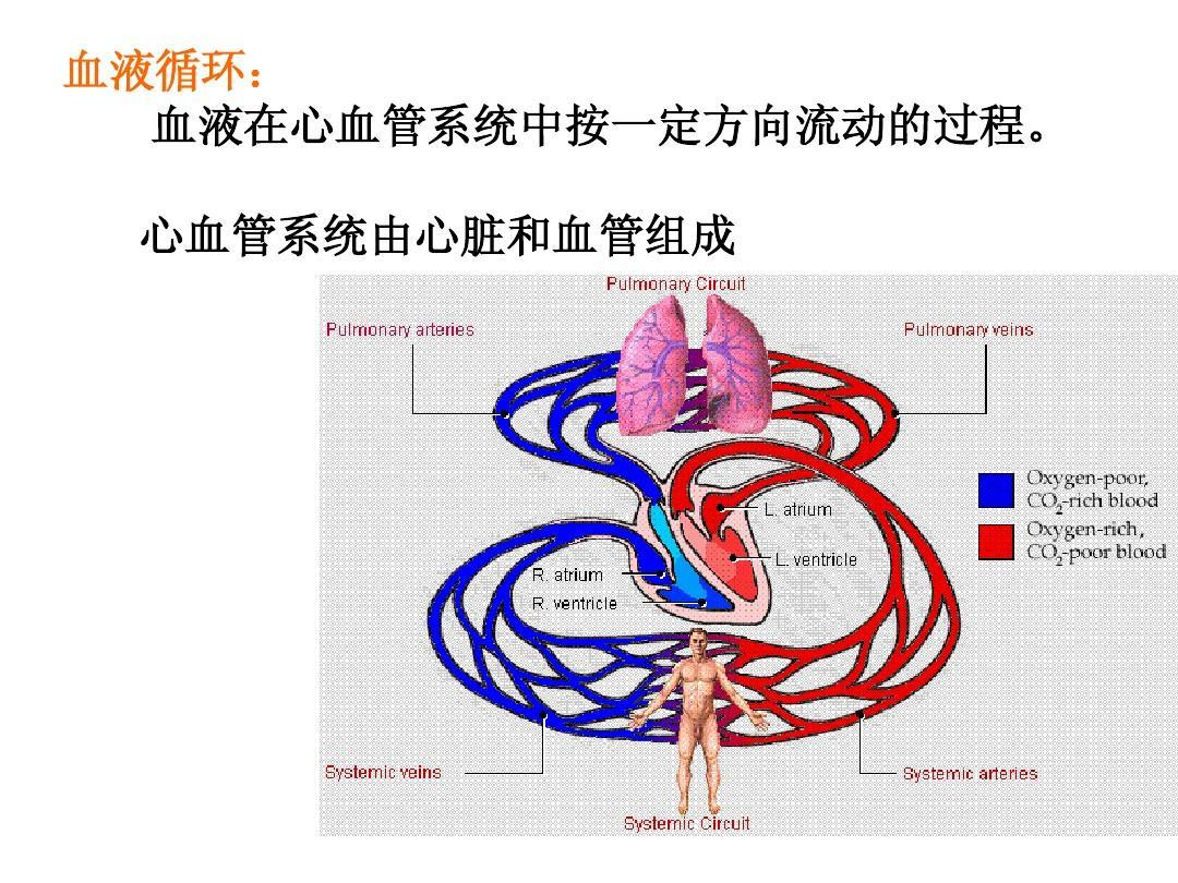 血液循环: 血液在心血管系统中按一定方向流动的过程.图片
