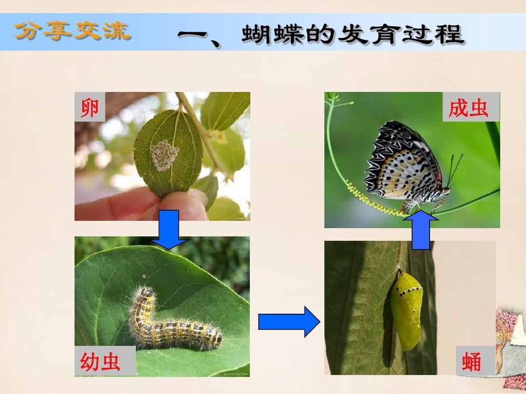 一,蝴蝶的发育过程 成虫图片