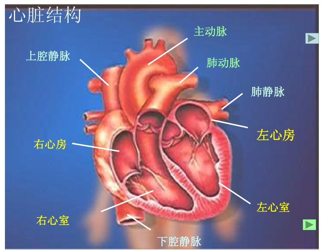 凡是离开心脏的血液都是动脉血,凡是回到心脏的血液都图片