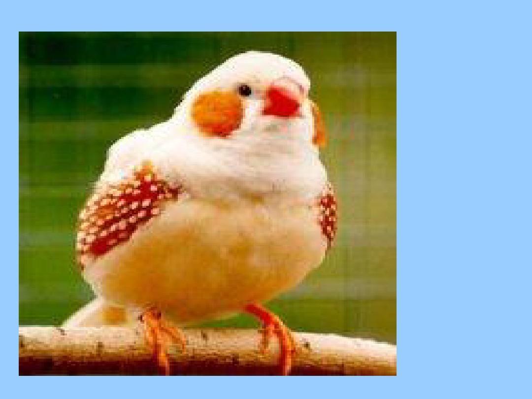 语文版五课件课件年级《珍珠鸟》PPT人教及莲山上册解析答案图片