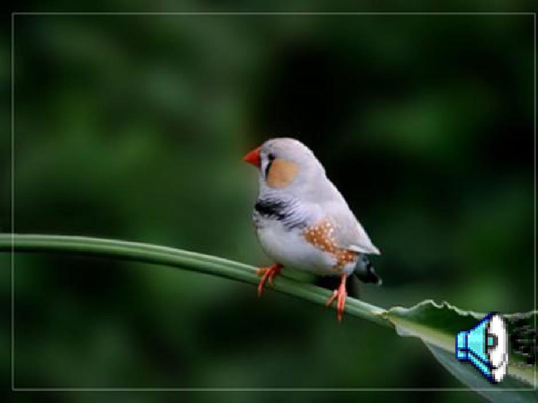 你可朗读21珍珠鸟课文喜欢《21珍珠鸟》21珍珠鸟珍珠鸟说课26说课教案下载图片