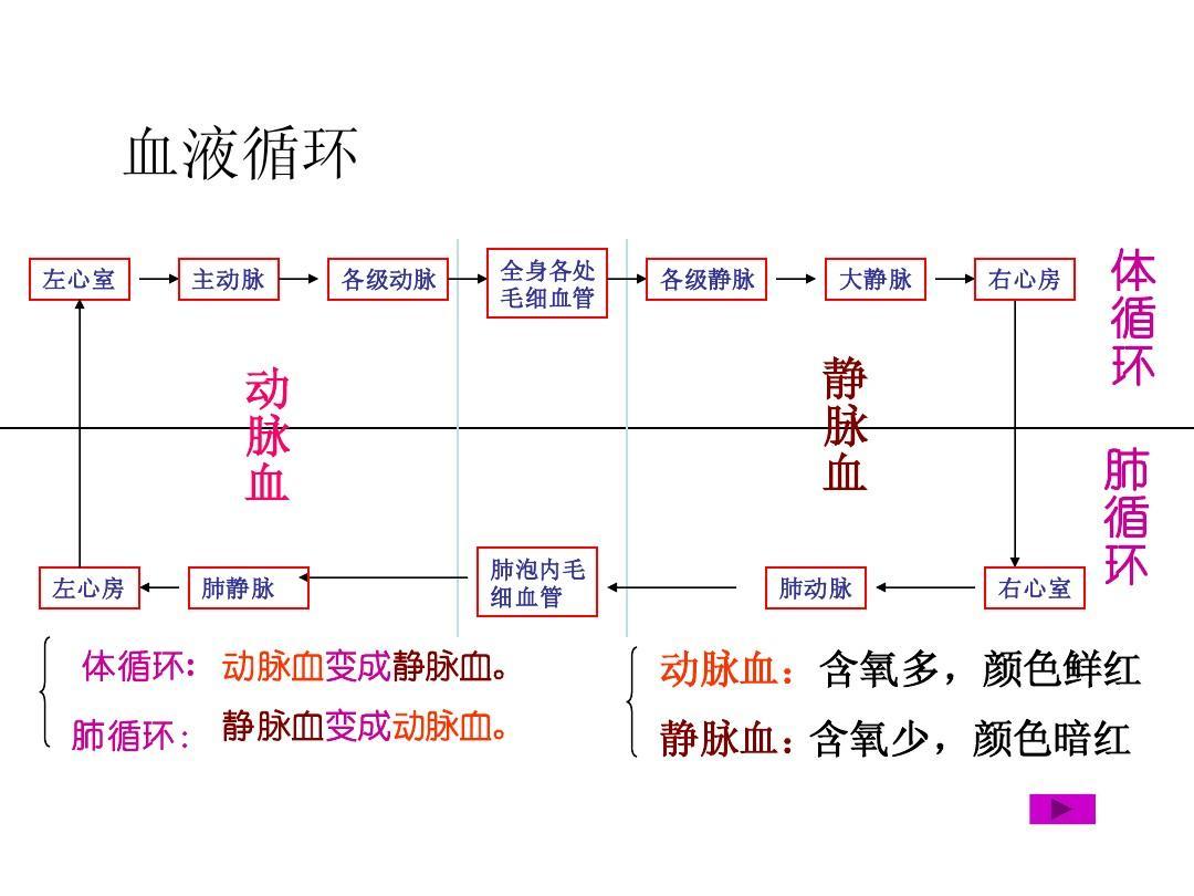 血液循环途径ppt图片