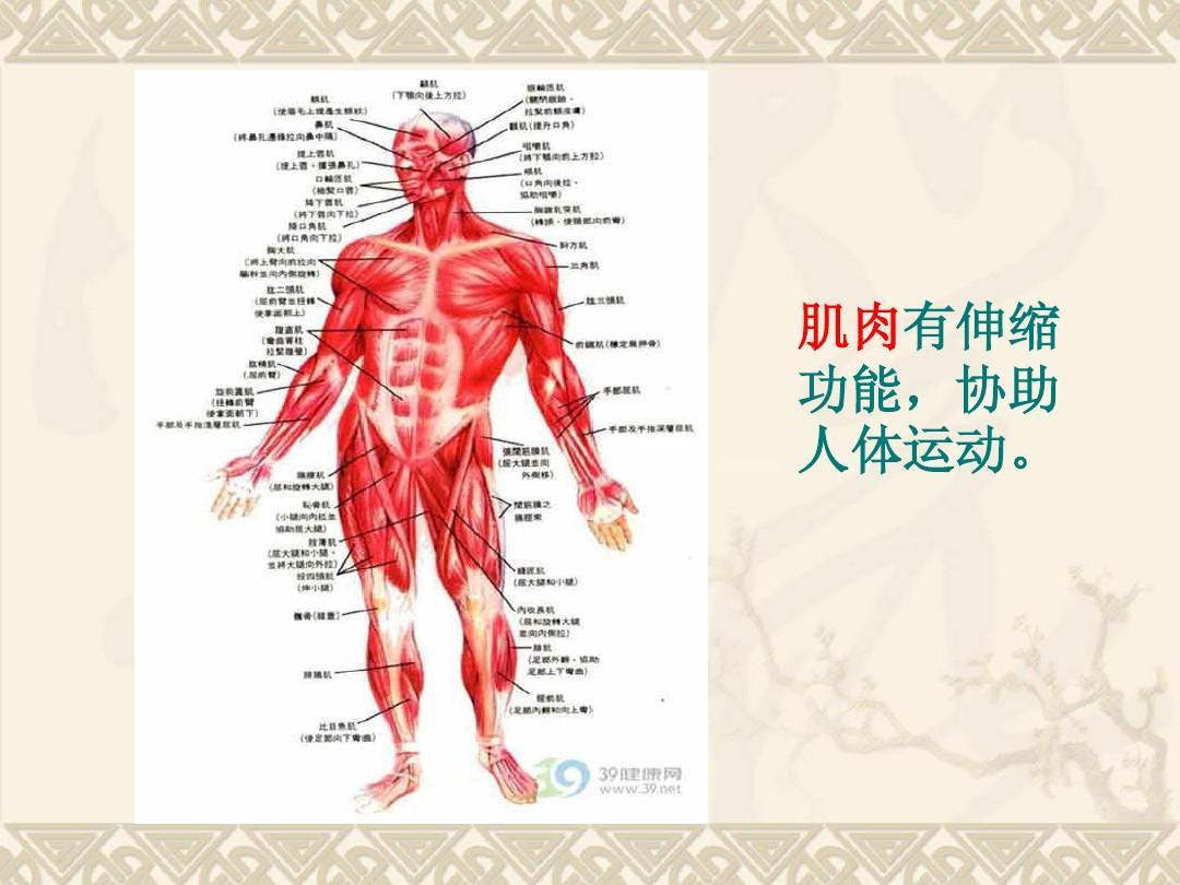 人体结构和功能_肌肉有伸缩 功能,协助 人体运动.