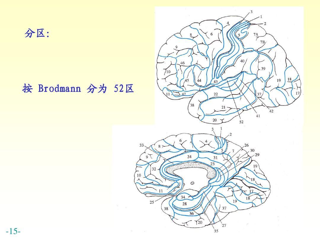 解剖神经系统 认识大脑 中枢神经系统解剖 最全人体解剖图 大脑结构与图片