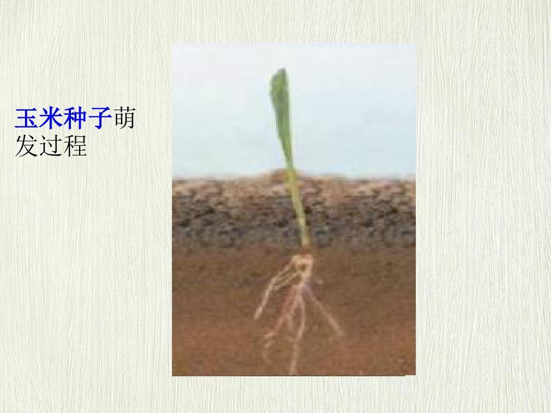 种子萌�y�9�hy.�_玉米种子萌 发过程