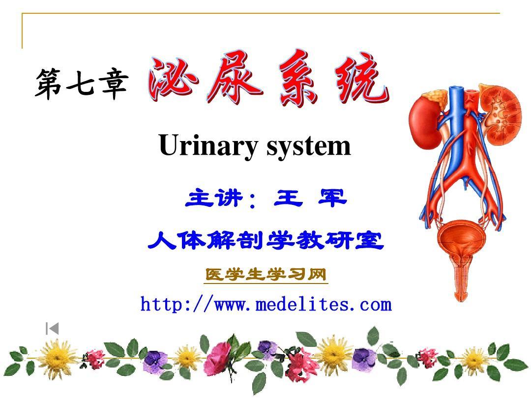 系统解剖学PPT课件---泌尿系统及男性生殖系统