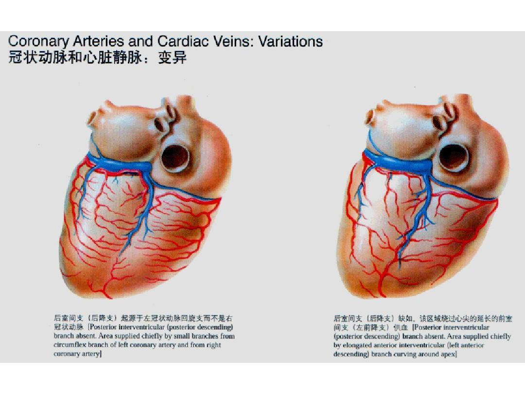 心脏解剖ppt图片