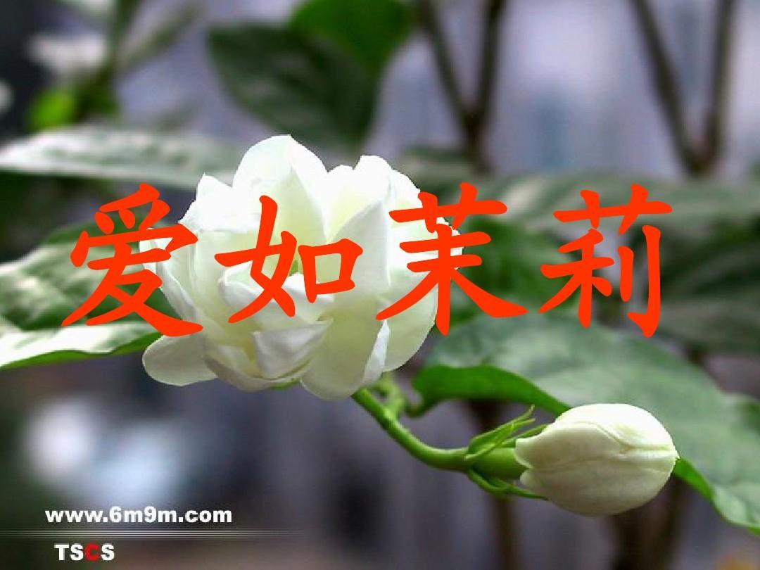 爱如茉莉课件_(5)