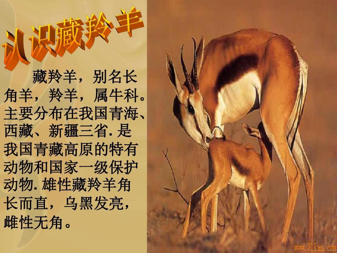 7《藏羚羊的故事》课件4ppt