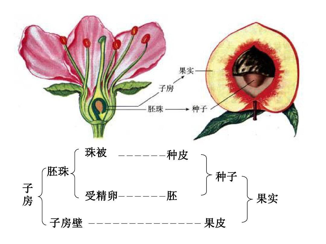 哪里有性爱种子_专题三 植物的有性生殖与果实种子ppt