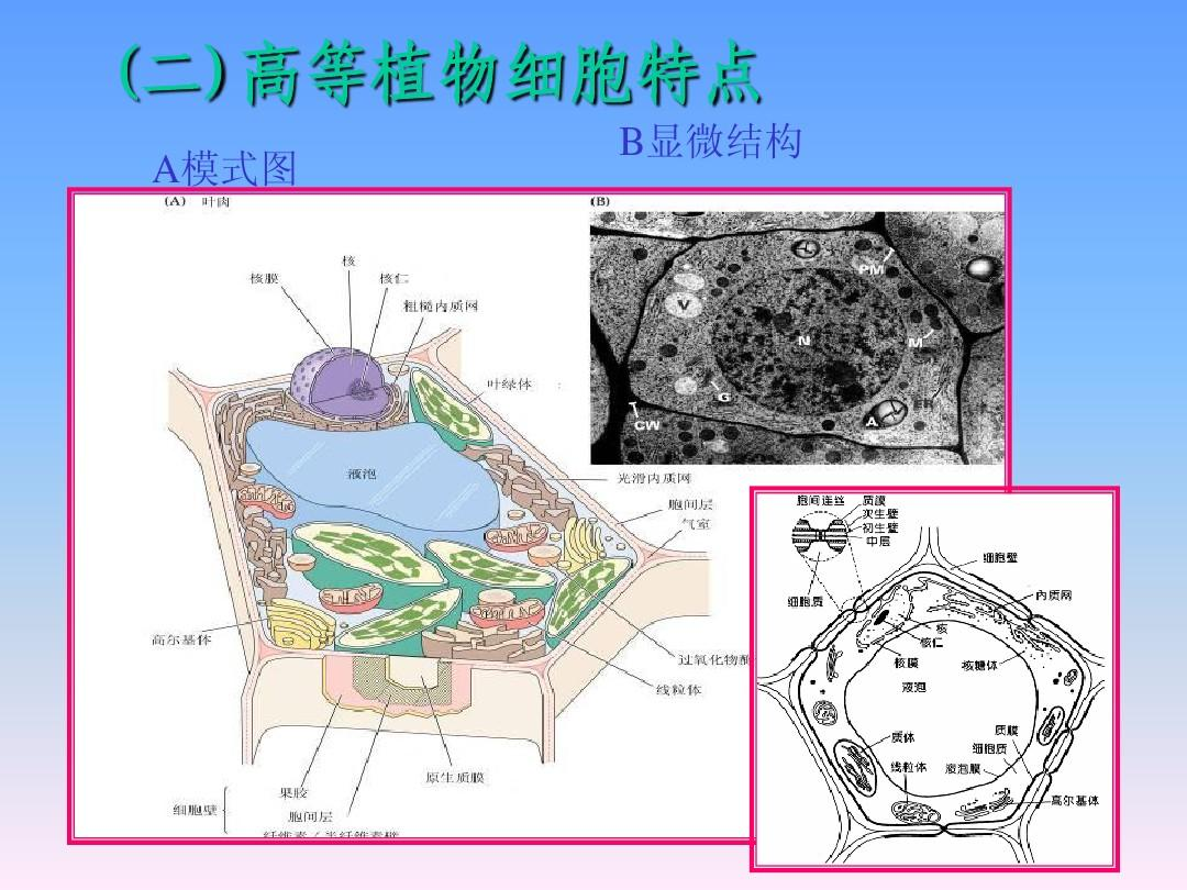 植物细胞的超微结构与功能 (二)高等植物细胞特点 a模式图 第6页图片