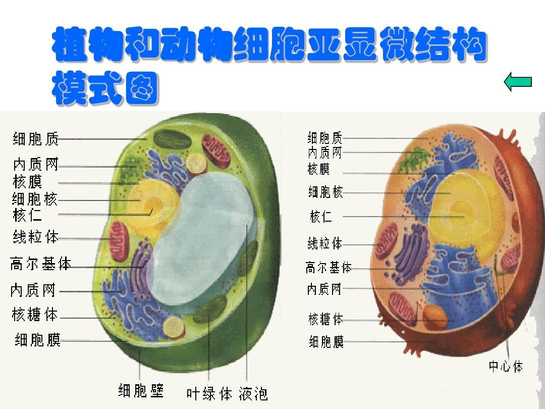 植物和动物细胞亚显微结构模式图ppt图片