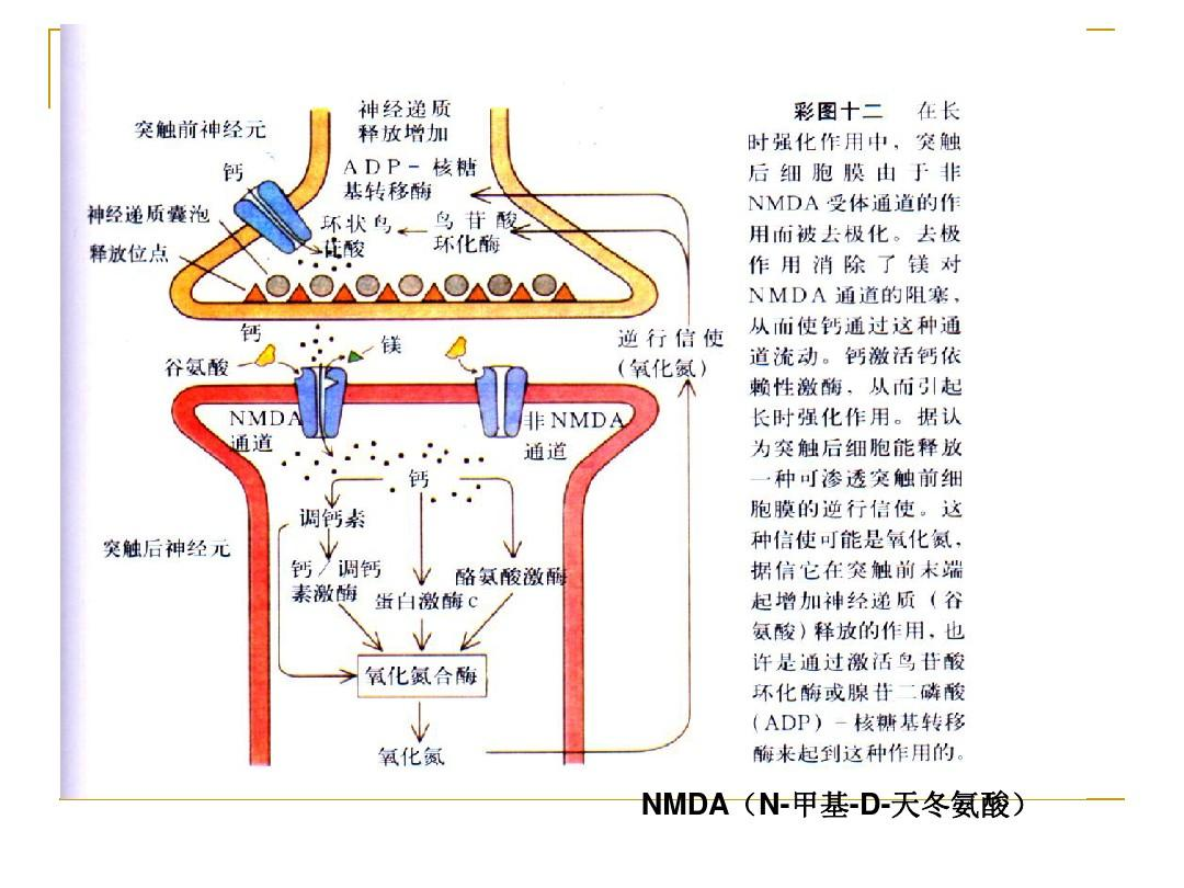 nmda(n-甲基-d-天冬氨酸)