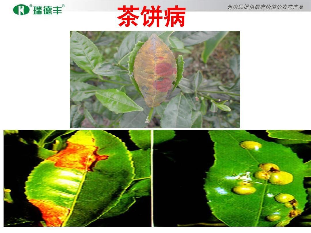 茶叶病虫害防治ppt图片
