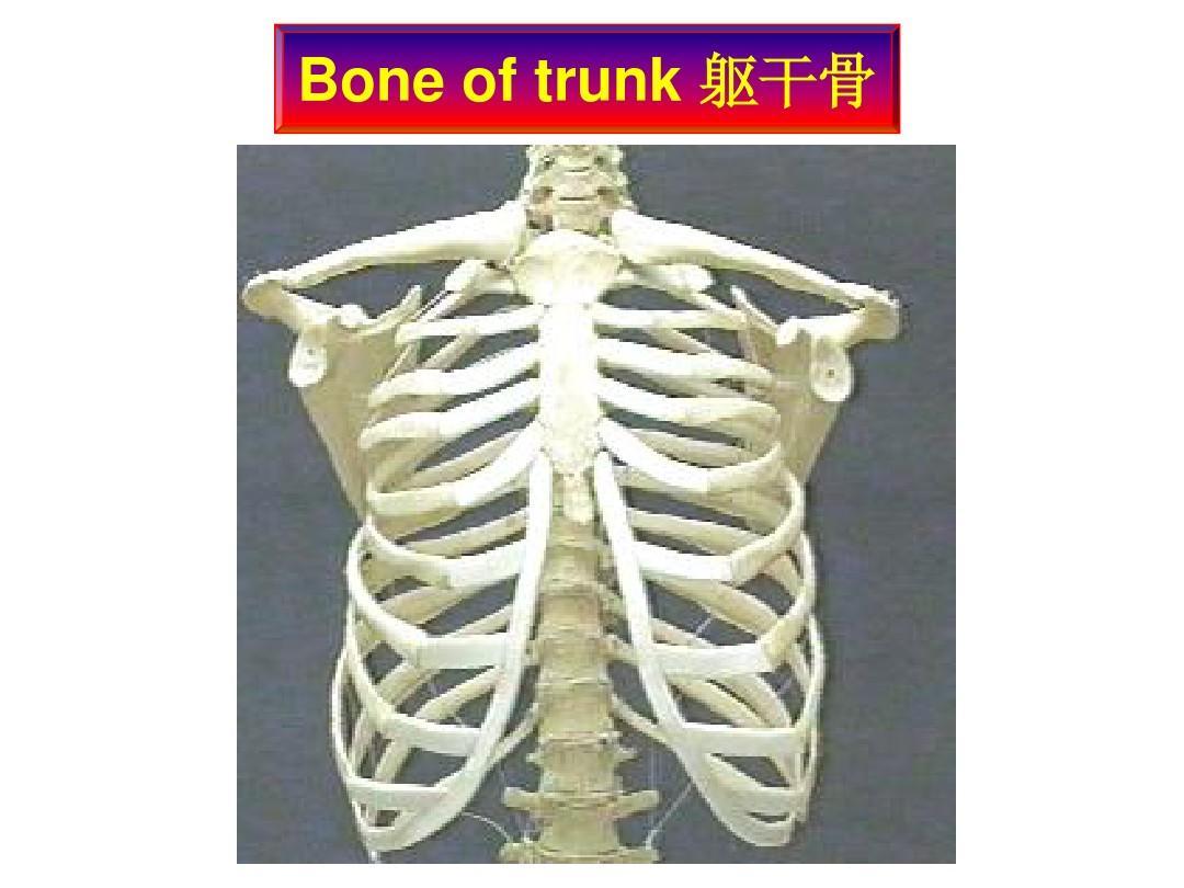 02躯干骨及其连结