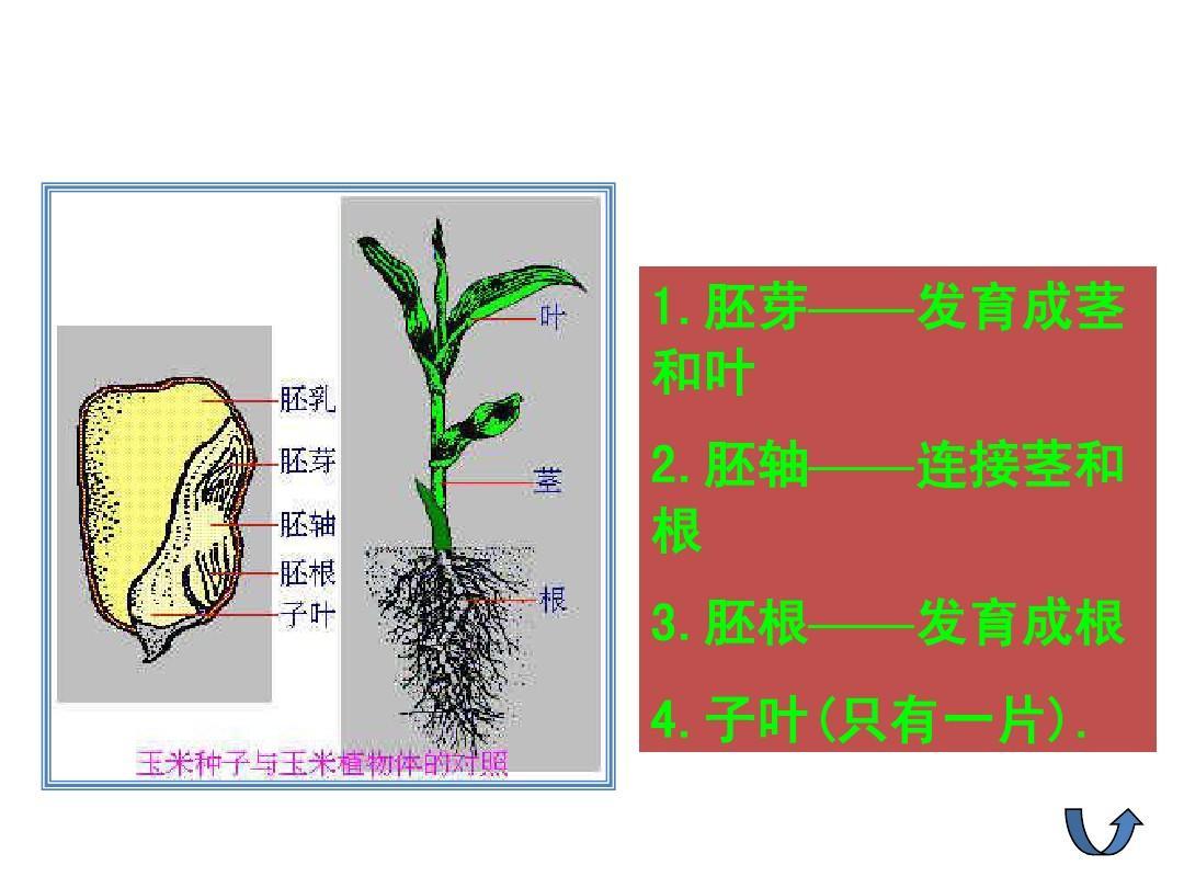 植物的生长过程ppt图片
