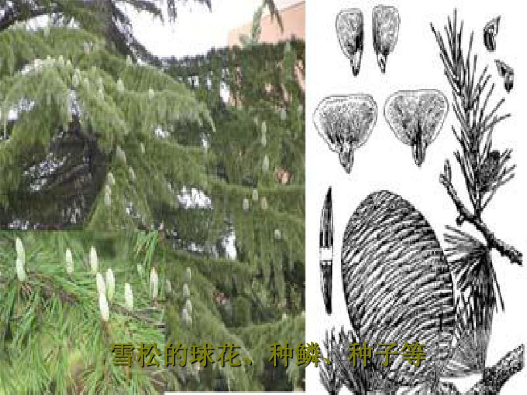 常见园林植物-针叶树种所属类群的主要形态特征9-松科图片