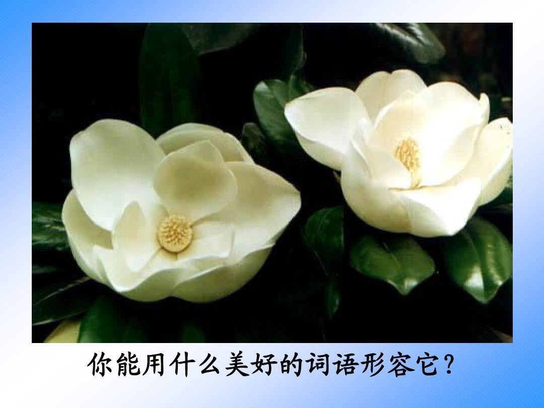 苏教版小学语文六年级下册《广玉兰》PPT课件