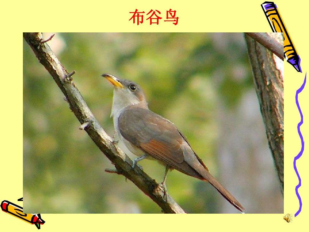 鸟媒mp3下载_布谷鸟
