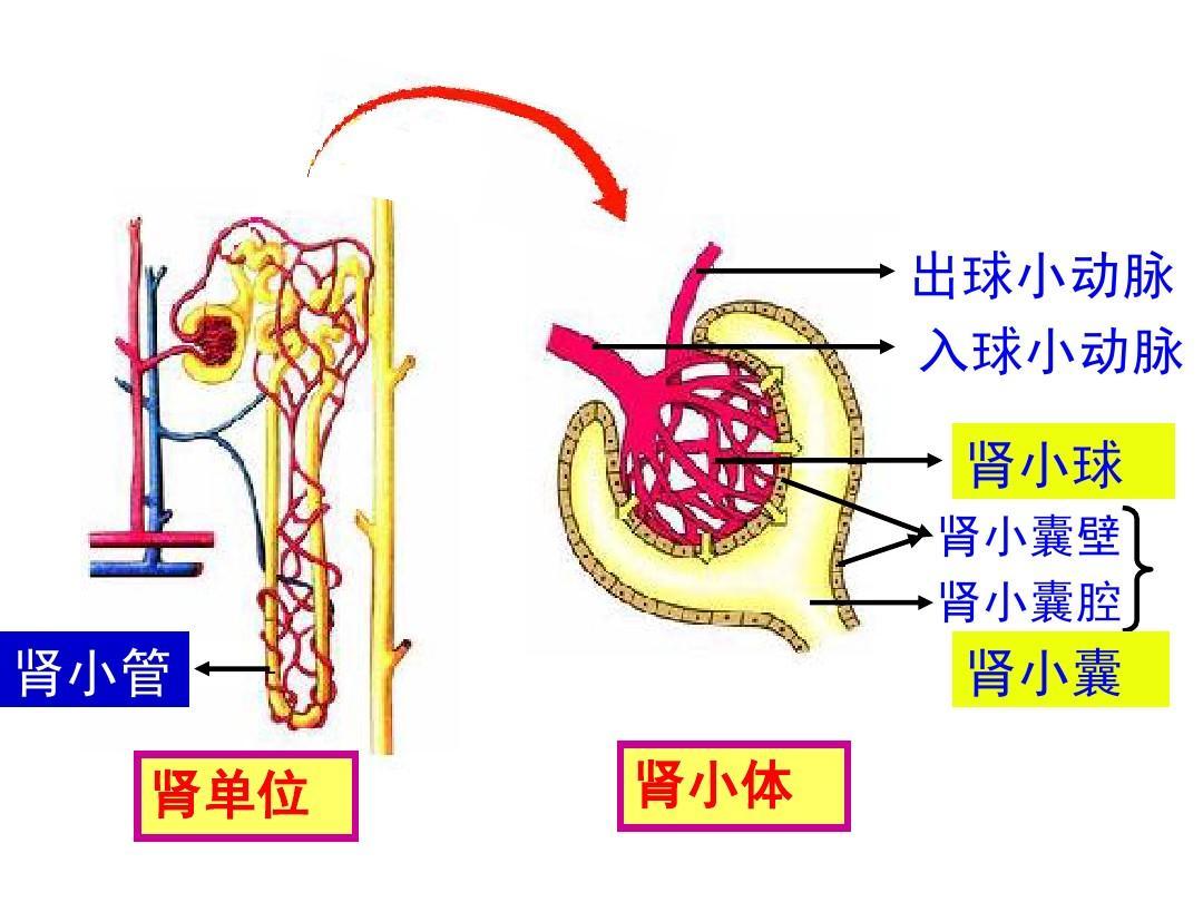 生物人体结构_人教版初二生物中考复习《人体内废物的排出》复习课件答案ppt